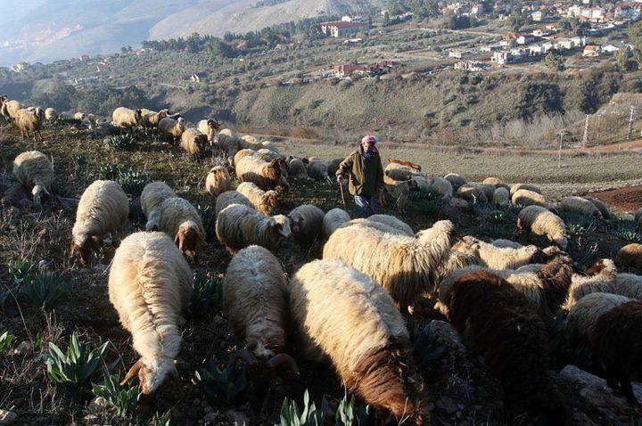 الاحتلال يسرق أغناما من لبنان