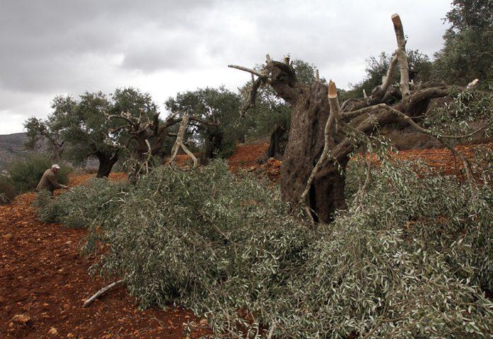 مستوطنون يقطعون عشرات أشجار الزيتون المعمرة في قرية الجبعة