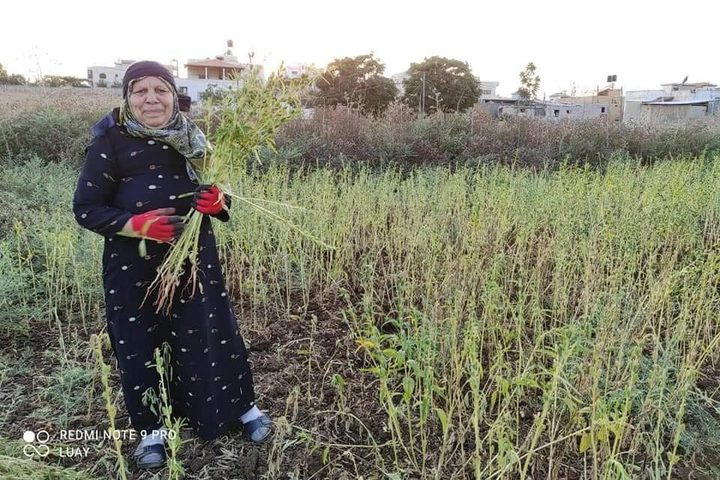 يازارعين السمسم.. موسم الحصاد من دير بلوط-  تصوير محمد اشتية