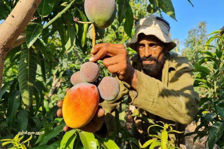 مزارعون من غزة يبدأون بقطف وجمع فاكهة المانجا استعدادًا لعرضها وبيعها في الأسواق تصوير : حسن اصليح