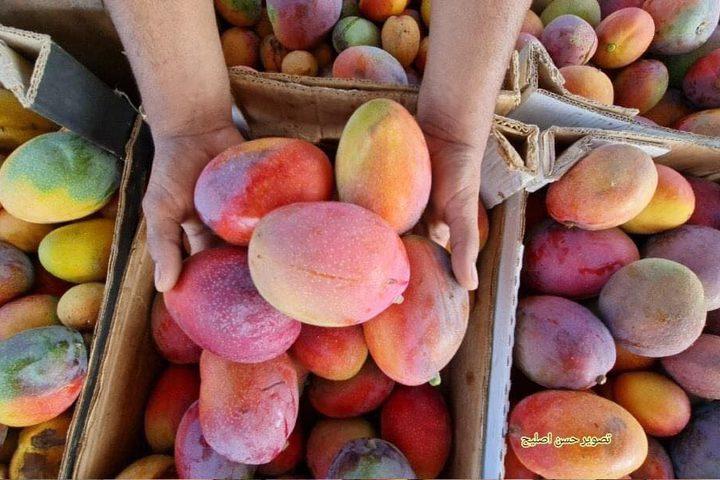 مزارعون من غزة يبدأون بقطف وجمع فاكهة المانجا استعدادًا لعرضها وبيعها في الأسواق