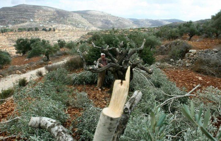 الاحتلال يقتلع عشرات أشجار الزيتون في قرية بردلة