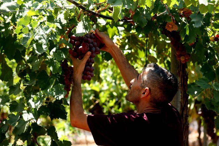 بدء موسم قطف العنب في مدينة الخليل