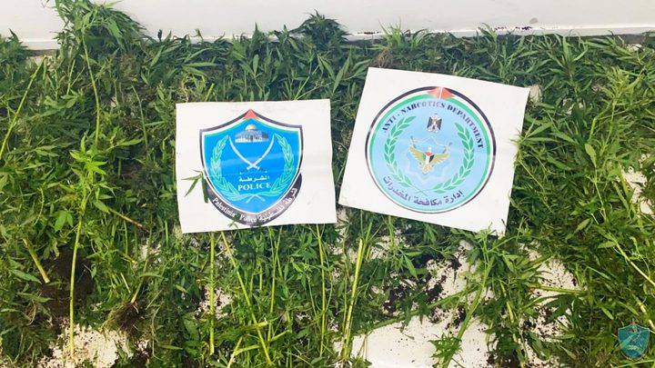 ضبط 81 شتلة من الماريجوانا المخدرة بمحاذاة جدار الفصل شمال طولكرم