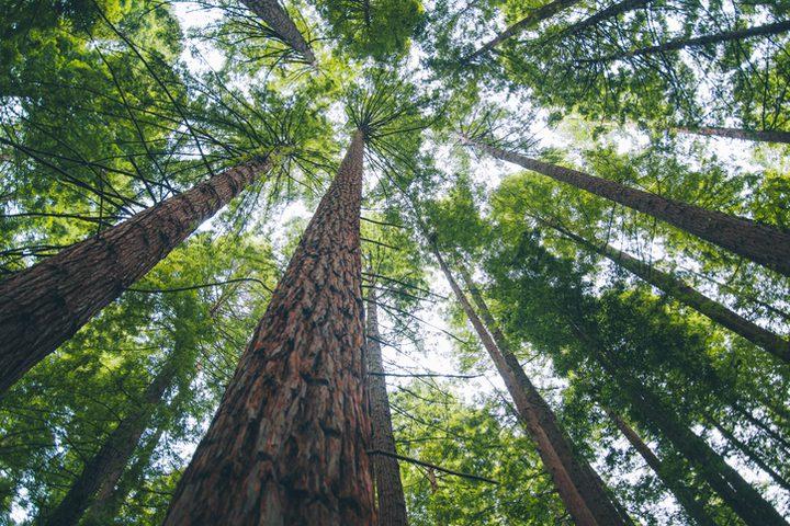 محاولات لإنقاذ أطول وأقدم شجرة في العالم