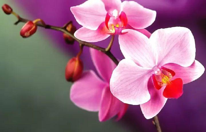 دراسة: زهرة الأوركيد تساعد في علاج السرطان