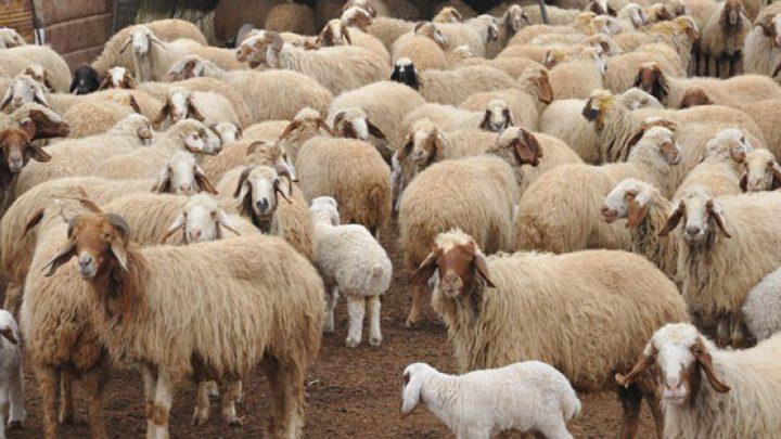 خربيش: الثروة الحيوانية تقلصت الى النصف ونطالب بدعم حكومي