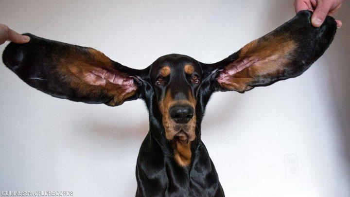 """كلب يدخل موسوعة """"غينيس"""" بفضل طول أذنيه"""