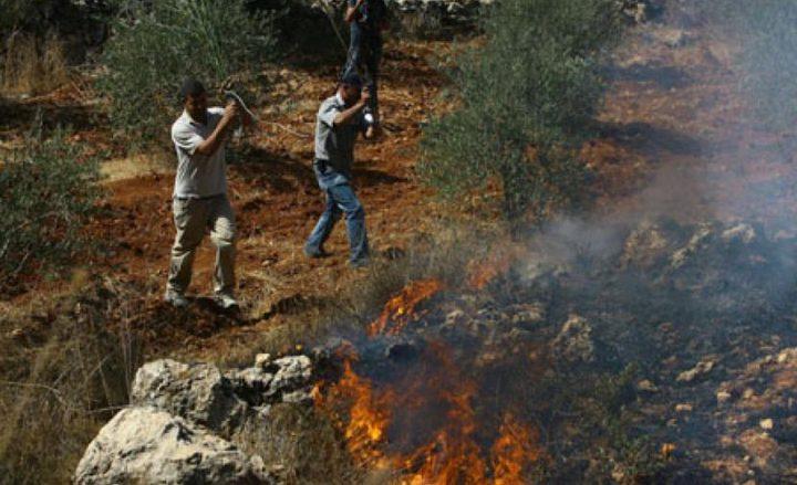 مستوطنون يحرقون أشجار زيتون مثمرة جنوب نابلس