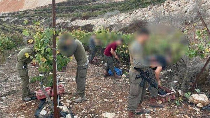 جنود الاحتلال شاركوا المستوطنين بسرقة العنب من أراضي الضفة