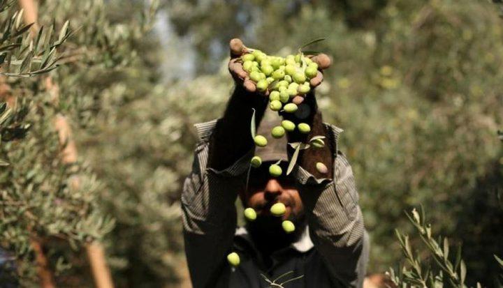 تراجع كبير في انتاج الزيتون في غزة