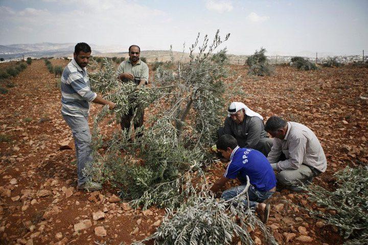 مستوطنون يقتلعون 70 شجرة زيتون في مسافر يطا جنوب الخليل