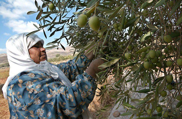قوى نابلس تستعد لبرنامج حماية المزارعين وإسنادهم في موسم الزيتون