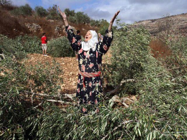 مستوطنون يقطون أشجار زيتون في قرية عورتا